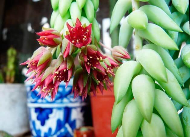 Цветы ослиного хвоста