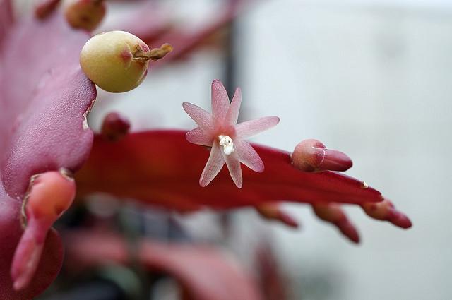 Цветы кактуса Красная омела