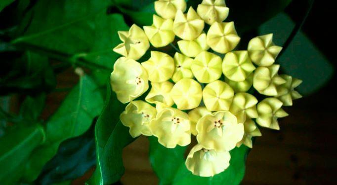 Цветок хойи кампанулата