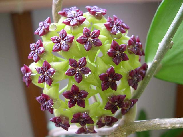 hoya cinnamomifolia Hoya Cinnamomifolia