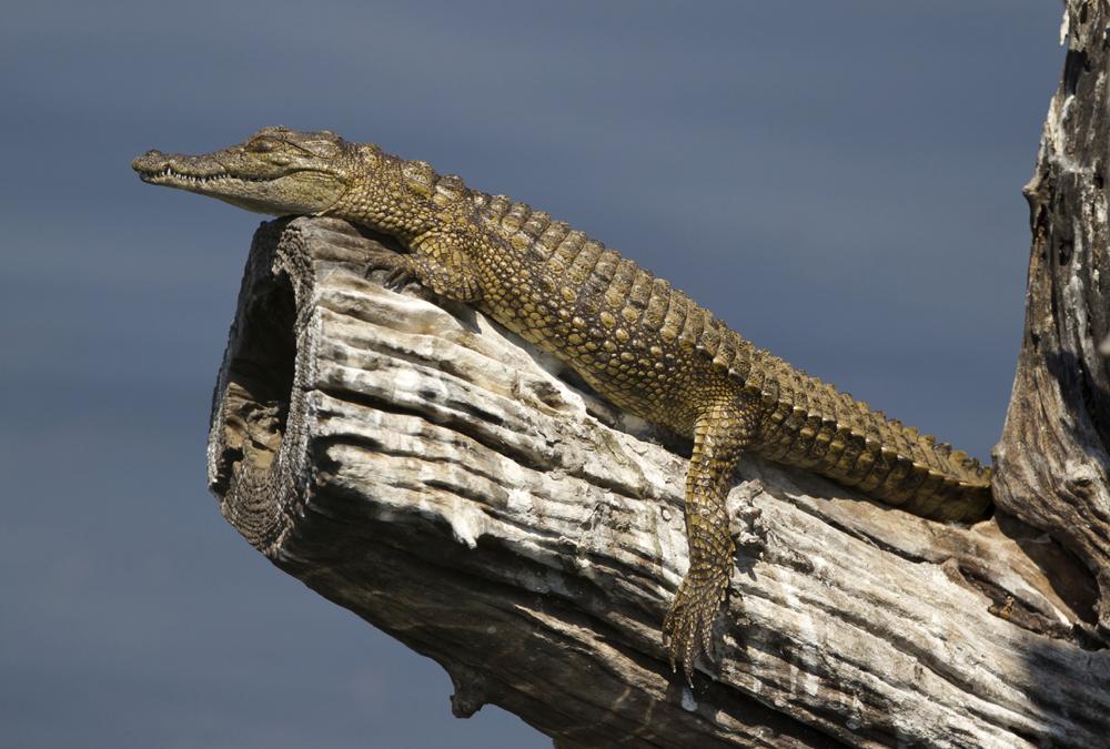 Крокодил отдыхает на дереве