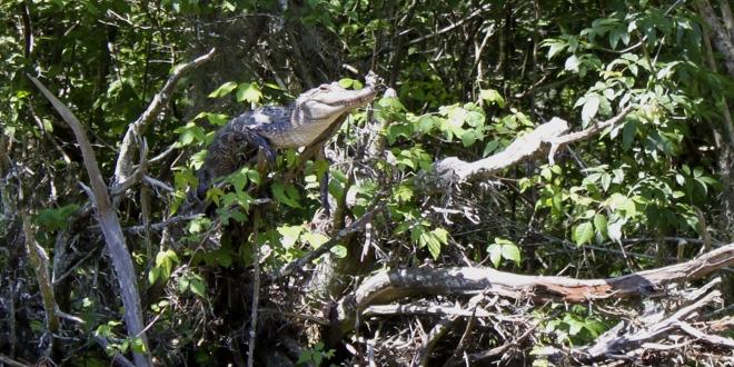 Крокодил в ветвях дерева