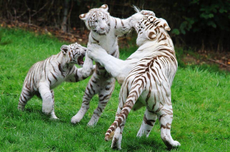 belye tigry igrayut Белые тигры