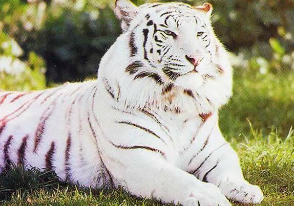 belye tigry Белые тигры