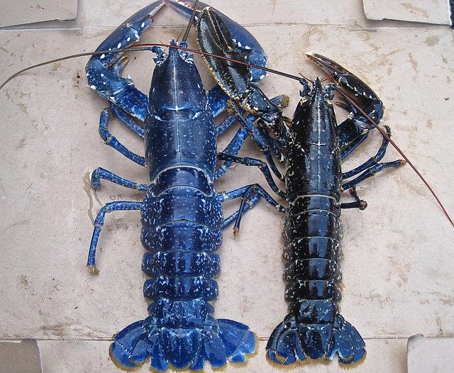evropejskij lobster Шотландцам удалось остановить вымирание лобстеров
