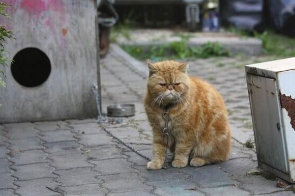 Кот на цепи