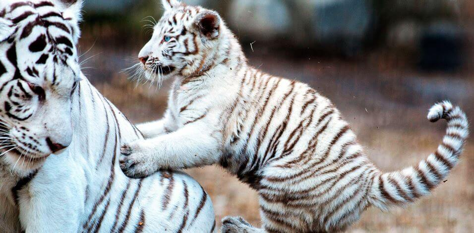 Семейка белых тигров