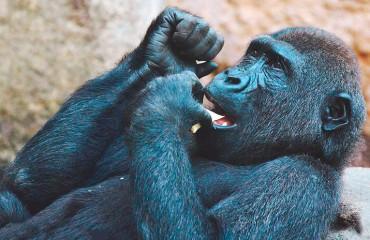 Шимпанзе в зоопарках страдают психическими болезнями