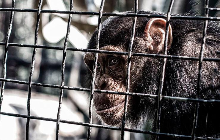 Клетка с шимпанзе
