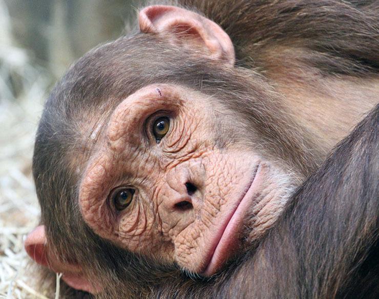 Грустный шимпанзе