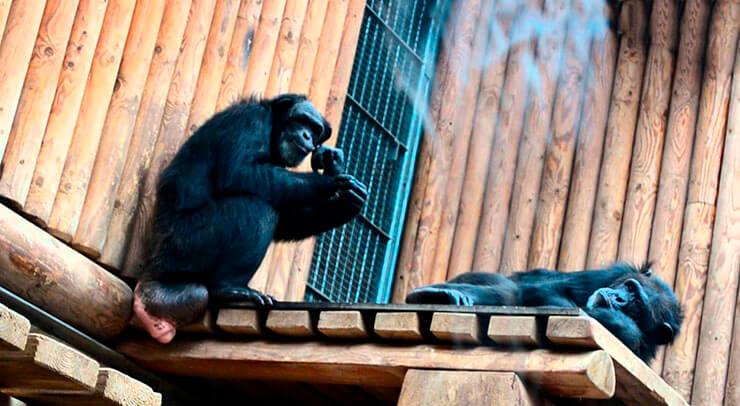 Пара шимпанзе