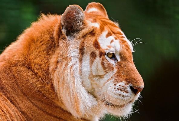 zolotoy tigr 2 e1477330132507 Золотые тигры