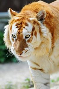 Прогулка золотого тигра