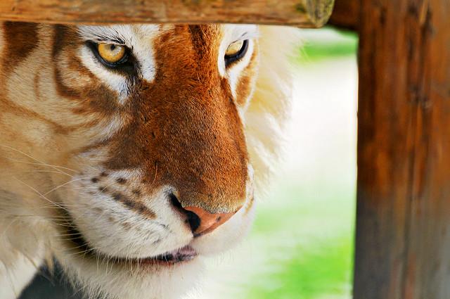 zolotoy tigr Золотые тигры