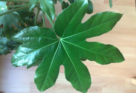 Красивый лист Fatsia japonica