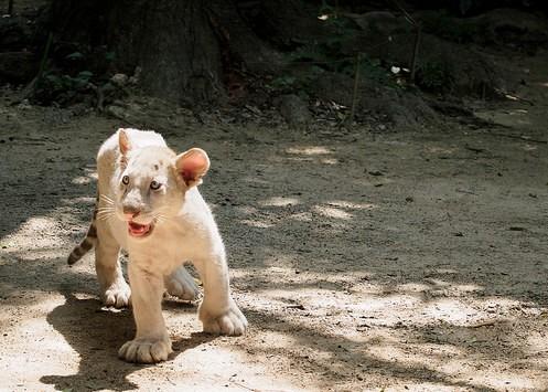 belyj tigrenok e1478191796456 Существует ли тигр альбинос и история тигра Кенни