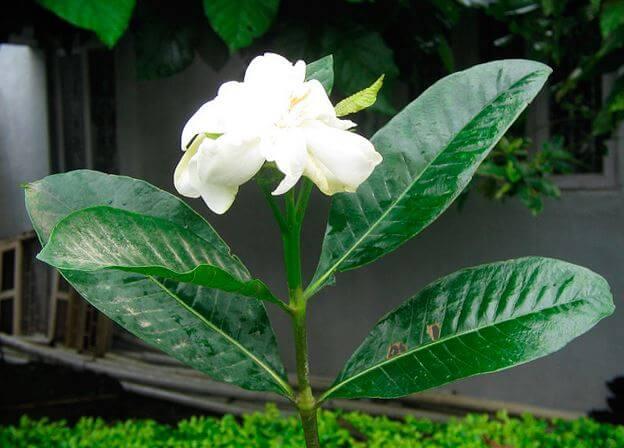 Цветок Gardenia jasminoides