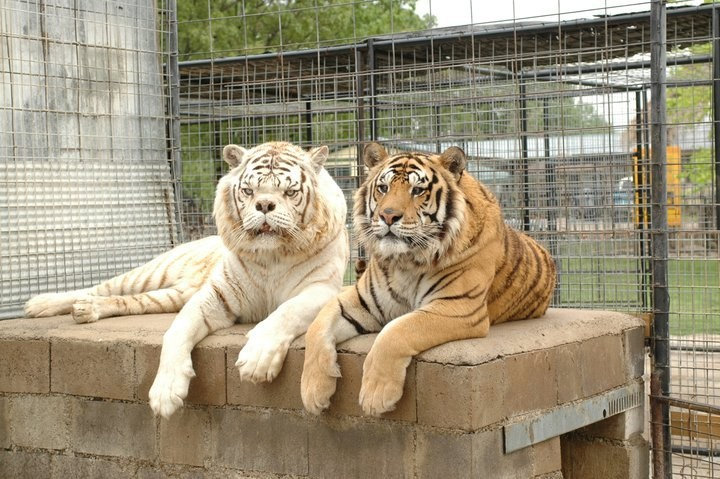 kenny i villi Существует ли тигр альбинос и история тигра Кенни