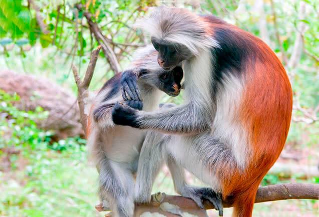 Самка колобуса Кирка с детёнышем