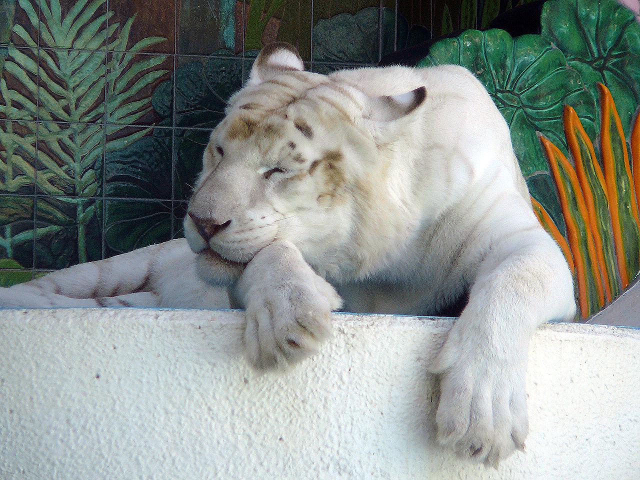 ochen belyj tigr Существует ли тигр альбинос и история тигра Кенни