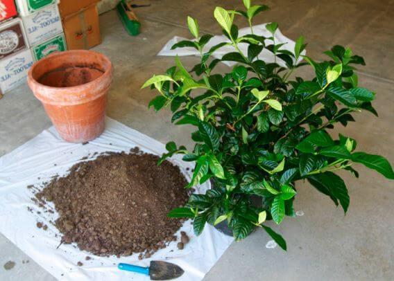 Пересадка Gardenia jasminoides