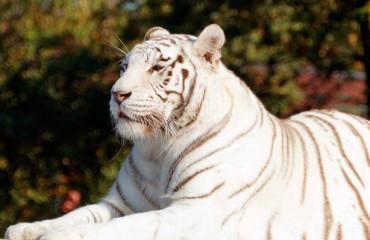 Существует ли тигр-альбинос и история тигра Кенни