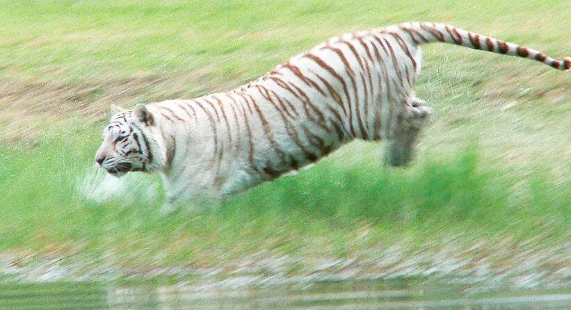 тигр-альбинос в реке