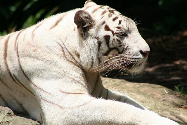 tigr belyj Существует ли тигр альбинос и история тигра Кенни