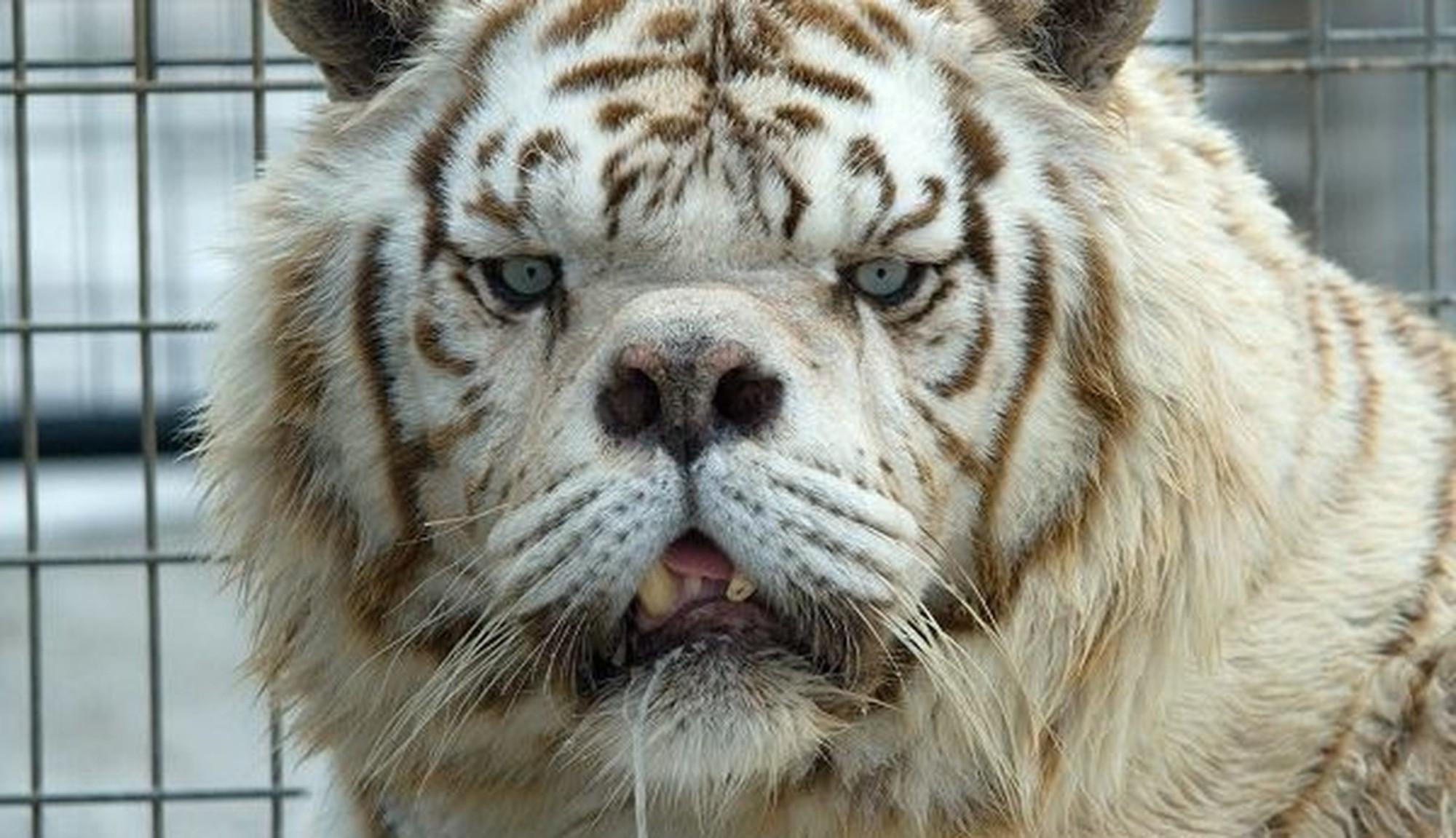 tigr kenny Существует ли тигр альбинос и история тигра Кенни