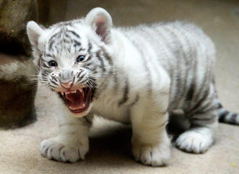tigryonok albinos Существует ли тигр альбинос и история тигра Кенни
