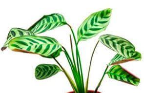 Выращивание маранты в домашних условиях