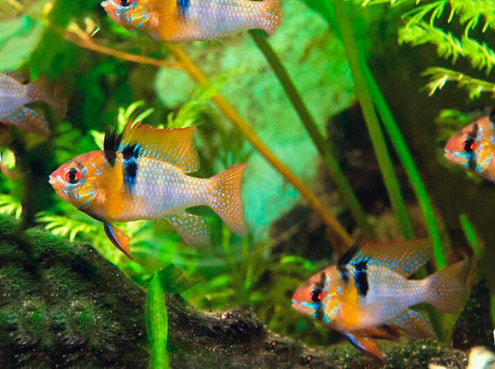 Обустройство аквариума для Апистограммы Рамирези