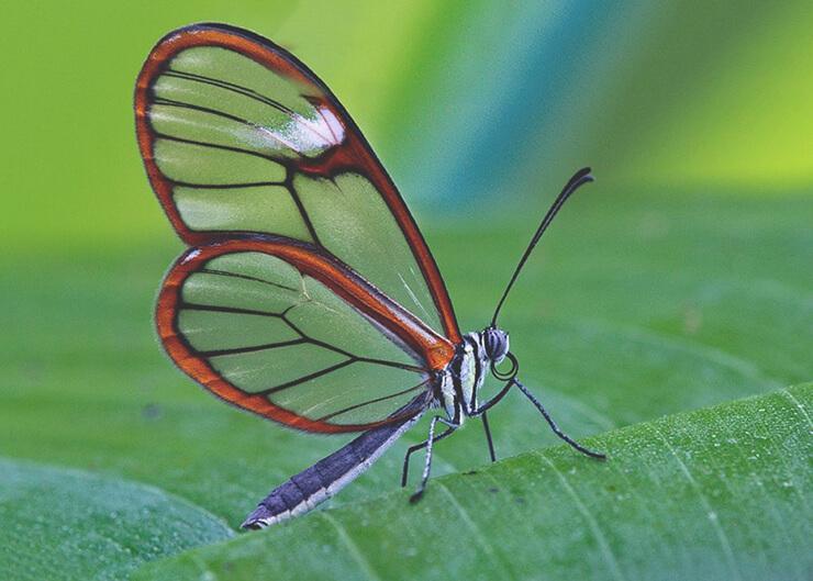 Бабочка Грета Ото фото