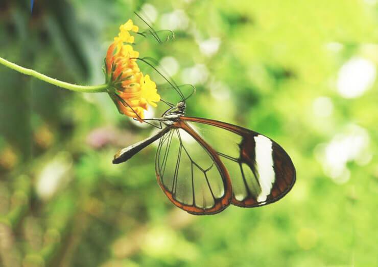 Изображение бабочки Грета Ото