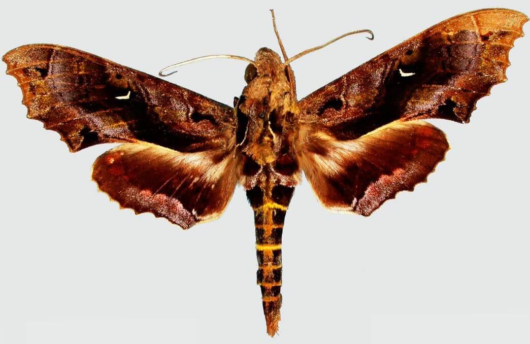 Бабочка Гусеницы, выдающей себя за змею