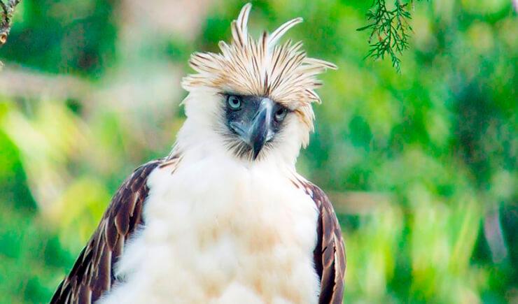 Филиппинский орел фото