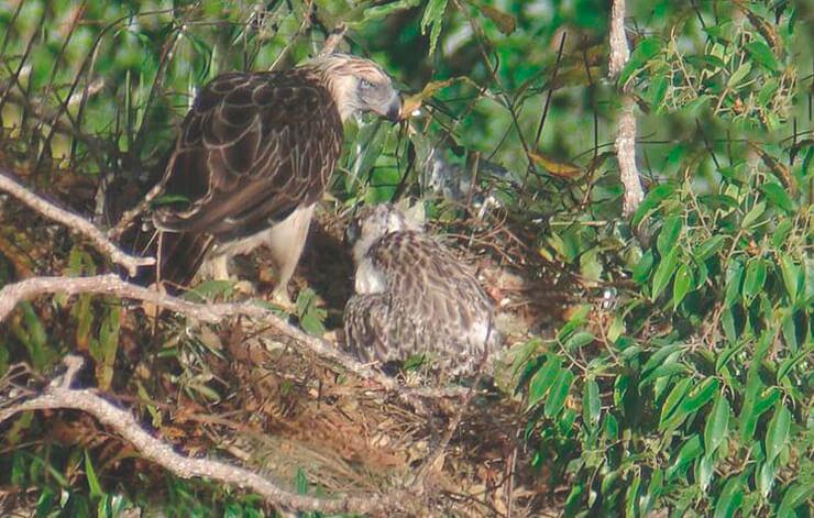 Гнездо филиппинского орла
