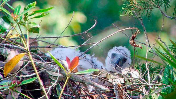 Птенец филиппинского орла в гнезде