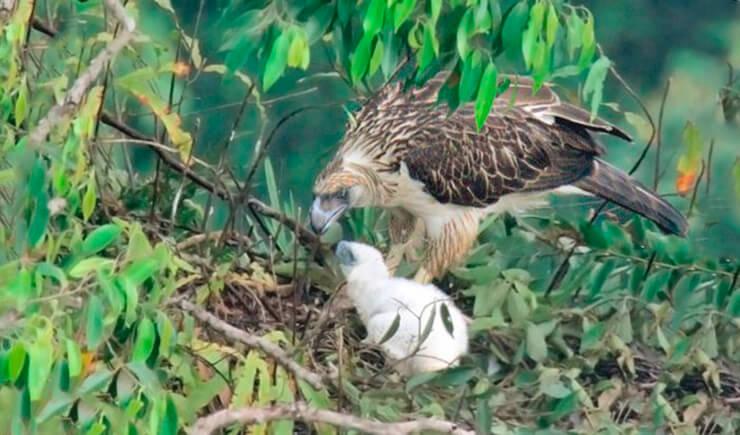 Филиппинский орел кормит орлёнка