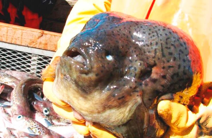 Рыба-капля фото