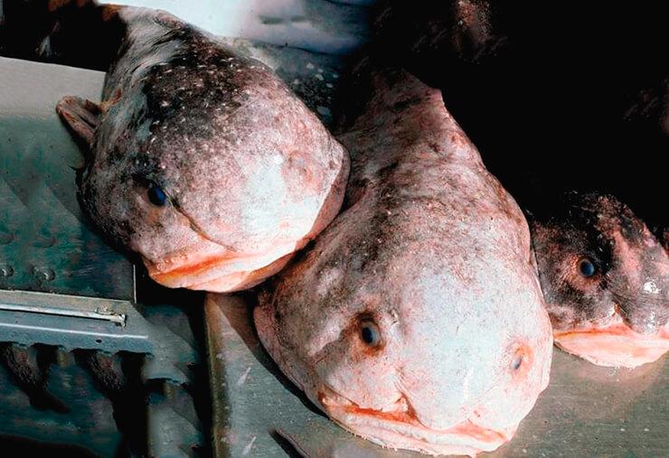 Внешний вид рыбы-капли