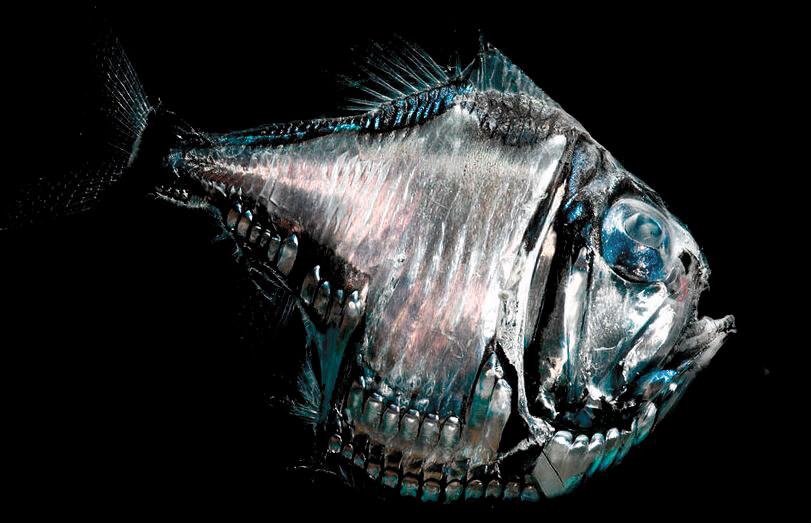 Изображение рыбы-топорика