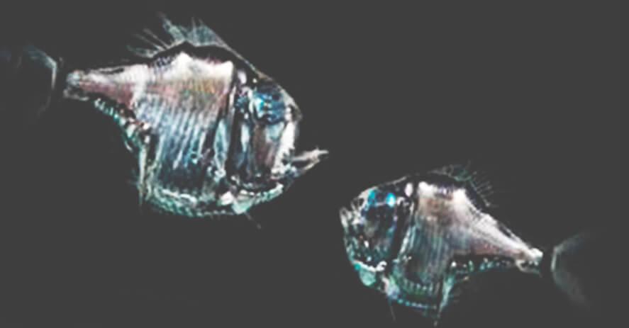 Рыбы-топорики фото