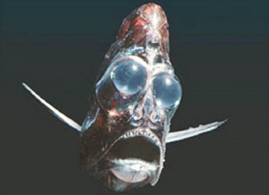 Картинка с рыбы-топориком