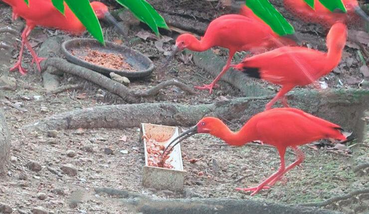 Кормление красных ибисов