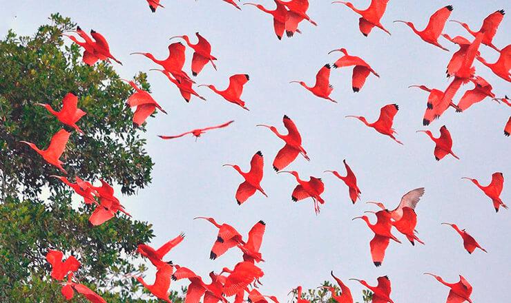 Колония красных ибисов