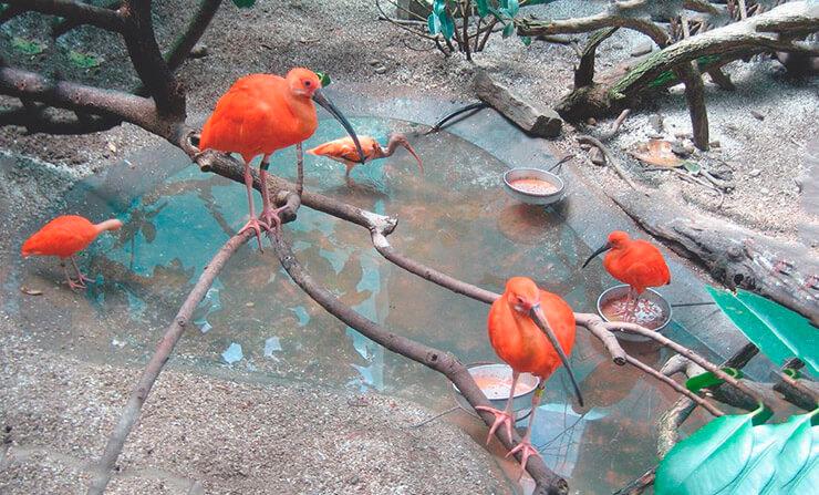 Красные ибисы на природе