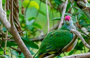 Розовошапочный пёстрый голубь