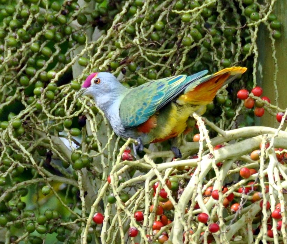 Розовошапочный пёстрый голубь клюёт ягоды