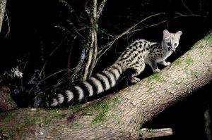 Ангольская генетта охотится ночью картинка